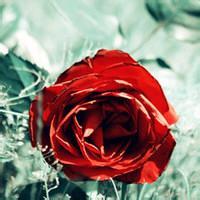 qq头像玫瑰:经常笑一笑